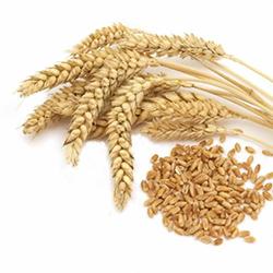 Озимая пшеница Донская лира